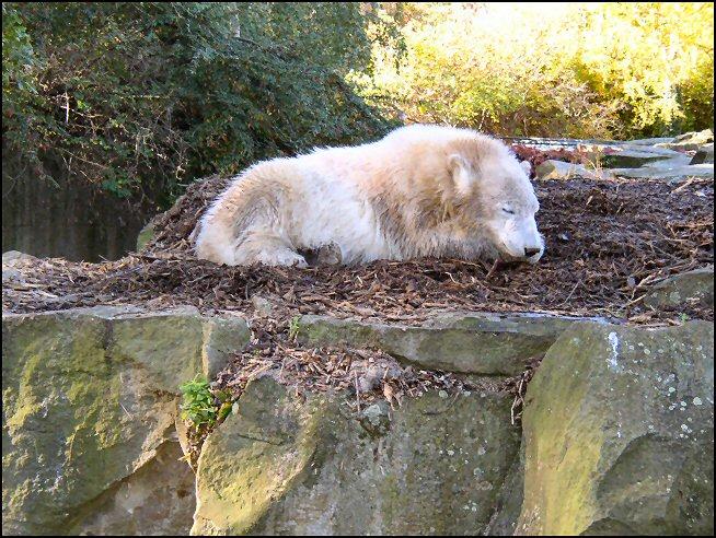 Knut hält seinen Mittagsschlaf
